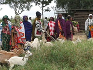 Maasai Community With Goats