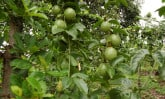 passion-fruit-tree