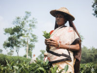 A woman stands in a field holding tea leaves in her hand. She wears a sari and a straw hat with a bag underneath to hold tea leaves. She stands in a large field.