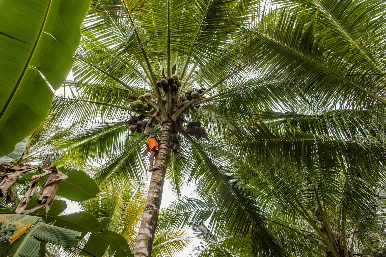 A man in orange shorts and a green shirt climbs a tall palm tree, reaching for coconuts, a risky job with no equipment.