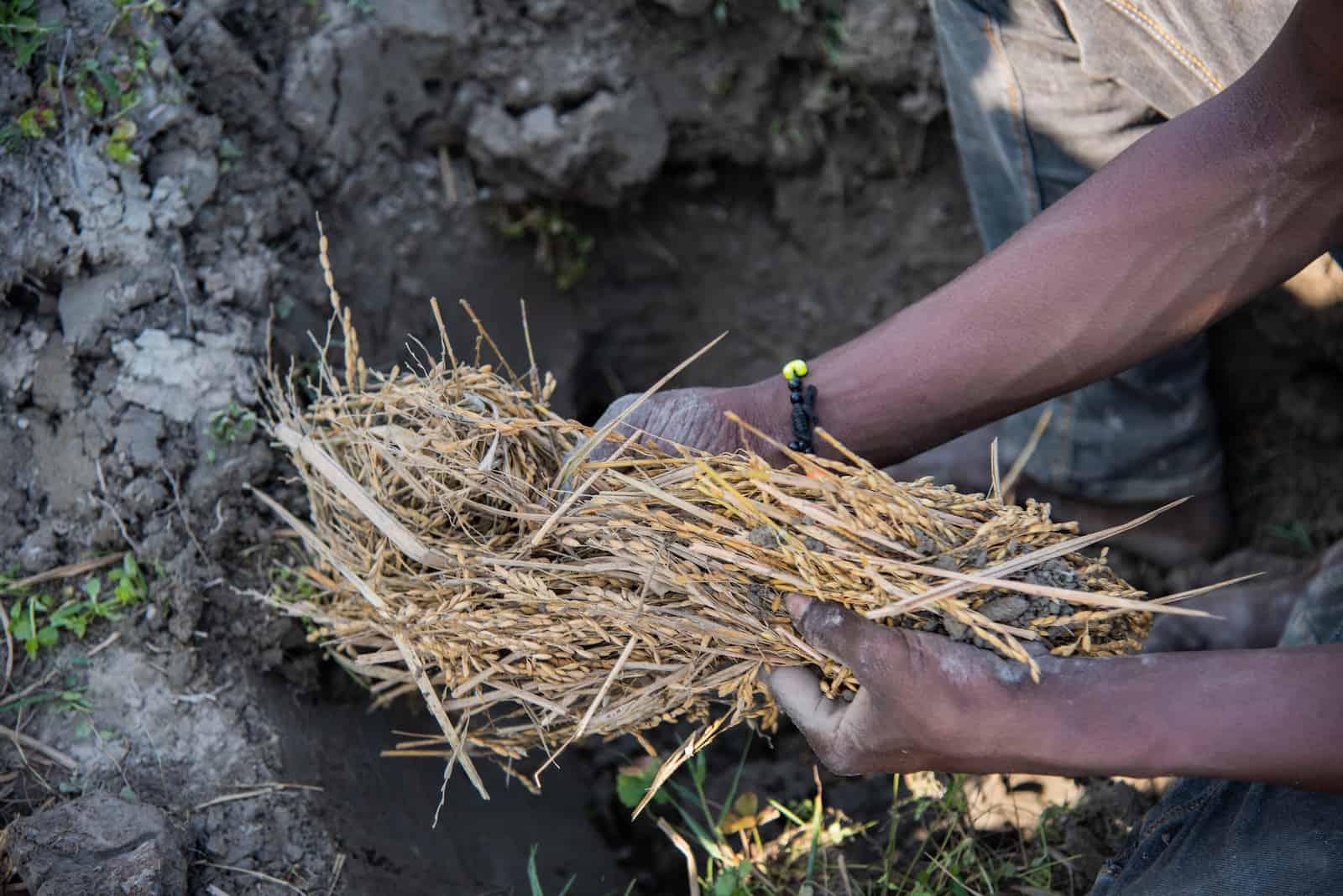 The hands of a man holds a bunch of rice stalks over a dirt hole in the ground.